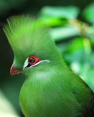Green Turaco (jeremyhughes) Tags: bird southafrica beak feathers explore nikkor captive gardenroute picturecollection jeremyhughes nikond200 lourie tauracopersa 300mmf4d birdsofeden impressedbeauty avianexcellence lifeingreen