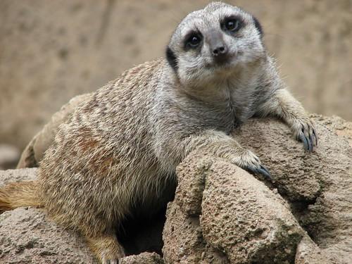 Cu Meerkat Claws Kalahari Desert South Africa Stock Footage Video ...
