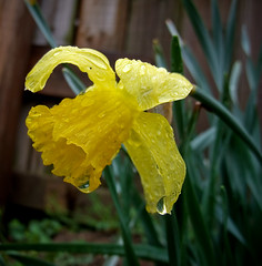 Nice Profile (mightyquinninwky) Tags: green rain yellow fence backyard 5 kentucky award lexingtonky waterdrops invite earlyspring chevychase excellence naturesfinest fontaineroad mywinner cl33 impressedbeauty greatflowermacros bestofformyspacestation