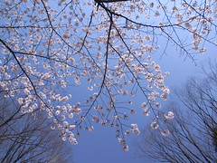 sakura and the sky (skonno) Tags: japan tokyo sakura cherryblossoms grdigital musashino grd