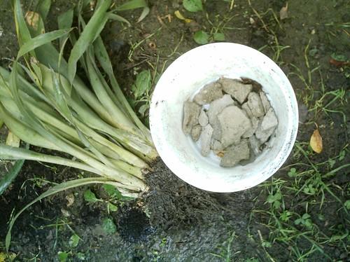 plantare billbergia - foto Dragos Serban