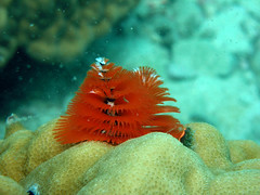 Orange Christmas Tree Worm at Koh Rin Island