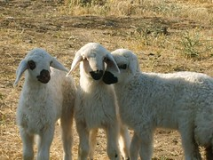 Lambs (cmbarut) Tags: summer 3 nature beautiful animal animals spring nice 2006 lamb lambs yaz bahar gzel hayvan irin hayvanlar doa koyun kuzu doublebeauty diamondclassphotographer