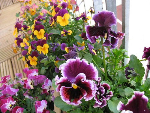 Pansies close-up