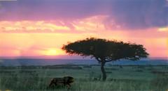 Lion_at_sunset (Robin Hutton) Tags: africa sunset art robin animal collage cat photo artwork kenya lion east photographs historical hutton manipulate kingofbeasts kaburus robinhuttonart