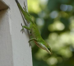 Anole (Brujo) Tags: