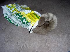 Easily amused... (delibelli) Tags: delibelli monkey monkeycat fool bag pussy pussycats animals feline felines katzen kitties kittys