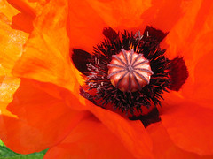Poppy center (Unhindered by Talent) Tags: flowers red orange flower nature fleur 510fav fleurs catchycolors rouge anne cottage center poppy avon stratford upon papaver pavot hathaways faveflower i500