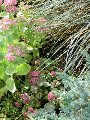 Sedum with Blue Star Juniper & Blue Oat Grass