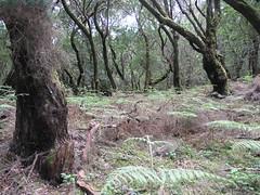 Garajonay (canarina) Tags: lagomera floraandfauna
