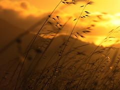 Against a summer sky (Rongzoni) Tags: ringmountain marin california grass sunset gold mttamalpais ilikegrass