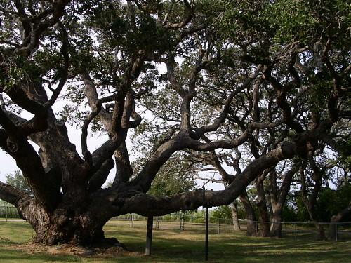 Старото дърво 21031100_e262bd7ce8