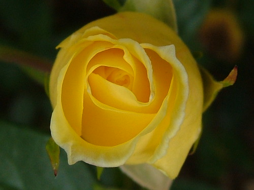 Yellow rose by snopek