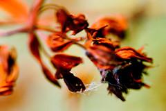 Flower (automat) Tags: flower macro bibleillustrations isaiah33 isaiah bibleillustration