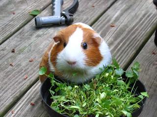 Kina-chan munching cilantro