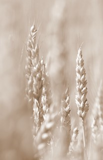 Rising Wheat