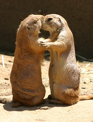 Prarie Dog Love, #2 (Thomas Hawk) Tags: two topf25 animal animals zoo topv333 kissing fav50 10 topv1111 fav20 prairiedog fav30 sanfranciscozoo marmots prariedog fav10 fav25 fav40 fav60 fav70 superfave