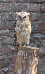Malay fish owl.... (ANDI2..) Tags: owl bird prey muncaster cumbria worldowltrust
