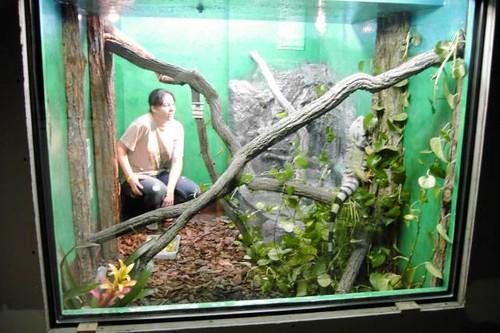 cage iguana Adult