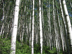 Aspen trees (t i g) Tags: trees wedding wallpaper creek colorado tl lo beaver beavercreek aspen lak aspentrees kindel charliekindel topshot photo365 photo365kindel