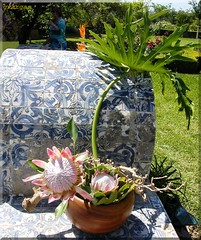 Ikebana with Proteas ( Graa Vargas ) Tags: pink flower ikebana tiles protea graavargas 115800260510 2005graavargasallrightsreserved