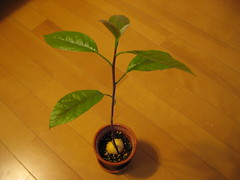 Avocado Growing Project #14