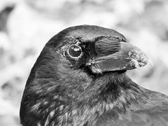 """ Mucky Crow "" (seanwalsh4) Tags: crow bird black eastville park bristol sean walsh lake urban nature beatiful 7dwk mucky food happy funny nice canonpowershot sx530hd photograph photo snap"