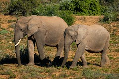 Mom and son, Southafrica (marcomariamarcolini) Tags: marcomariamarcolini nikon nikkor africa southafrica krueger park daylight wow nature wildlife innature nocages fly run walk safari digital colorful elephant elefante big huge mother son pachiderm