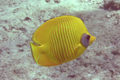 Addis Butterfly (Sam and Ian) Tags: addis butterfly fish butterflyfish redsea sharm snorkeling sea egypt sharmelsheikh underwater snorkel naamabay snorkelling water