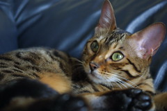 Lady Lula (Zulpha) Tags: pet lady cat eyes feline kitty couch stare lula paws canoneosd30