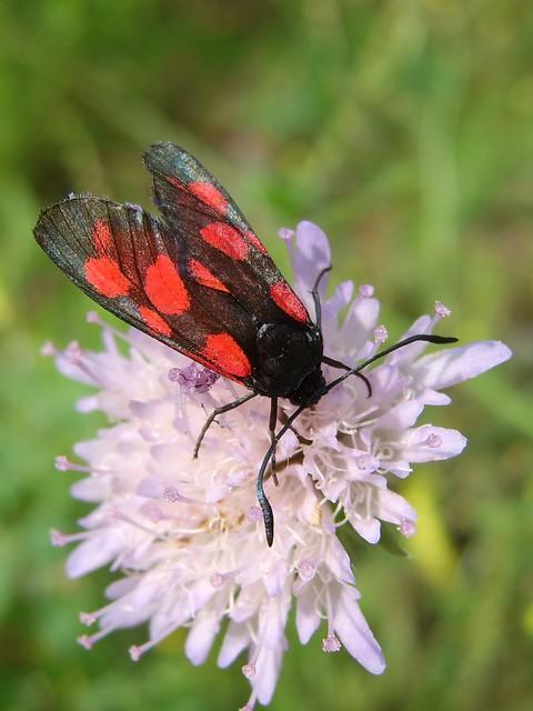 toxic burnet moth #1