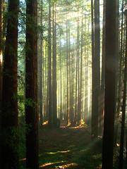 redwoods, straight an