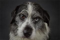 Bowie (Marijke M2011) Tags: dog dogportrait canine animal pet petportrait cute love huisdier hond hondenportret indoor studio studiolightning friend