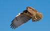 Flyby (Nutzy402) Tags: hawk flight bird birds wing raptors prey nebraska nature animal wildlife talon pattern outdoors blue flying