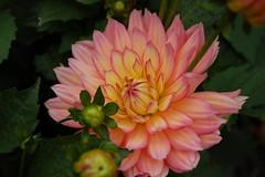 Swiss flower (atlantaphoto) Tags: bestnaturetnc06