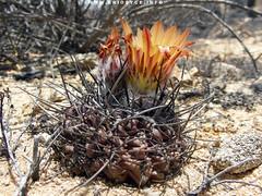 JA215 Eriosyce henrichiana (Spiniflores) Tags: eriosyce heinrichiana copiapothon eriosyceheinrichiana ja215