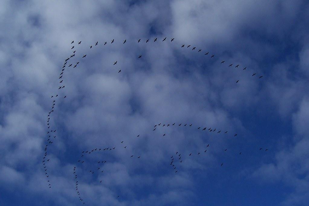 It's Not A Plane...It's Not Superman...but many many birds