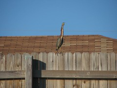brown fence sitter against sky (Globetoppers) Tags: backyard florida canoe winters