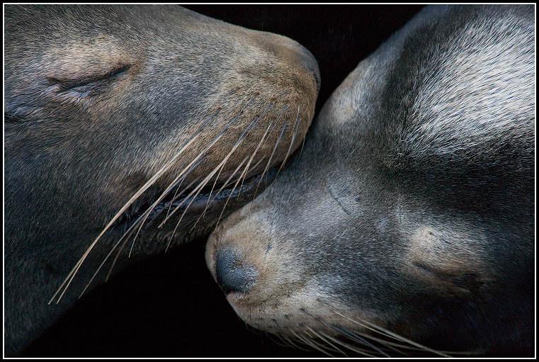Sleeping California Sea Lions