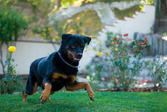 Pounce (RottieLover) Tags: dog pet pets dogs animal animals 50mm nikon action rottweiler d200 rottie nero rottweilers 50mmf14d rotties mrsu nikonstunninggallery dwoo