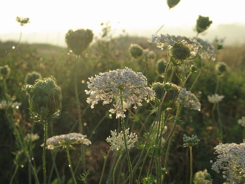 Queen Anne's Lace in Sunrise