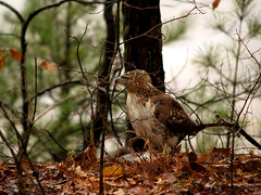 Hawk in the park
