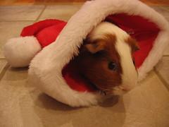 O Christmas Pig!