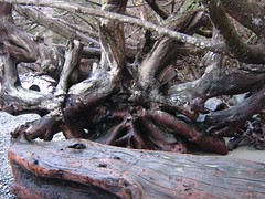 "tree roots • <a style=""font-size:0.8em;"" href=""http://www.flickr.com/photos/70272381@N00/343481253/"" target=""_blank"">View on Flickr</a>"
