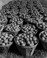 Fresh-picked tomatoes ready for canning (John Collier Jr.) Tags: blackandwhite bw usa history classic film museum america vintage collier us photographer unitedstates propaganda wwii farming documentary patriotic roosevelt historic professional worldwarii 1940s archives maxwell ww2 americana civildefense patriotism archival forties largeformat anthropology homefront worldwar2 40s fsa wartime newdeal owi waryears farmsecurityadministration officeofwarinformation johncollierjr