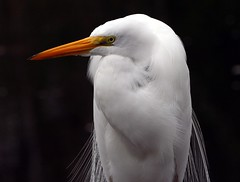 SAM- Great Egret