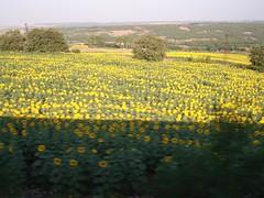Ladang Bunga Matahari Di Turkey