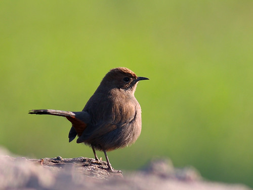 Black-backed Robin, Brown-backed Indian Chat, Brown-backed Indian Robin, Indian Chat, Indian Robin Strauchschmätzer, Strauch-Schmätzer Tarabilla Terrestre Copsychus fulicatus, Saxicoloides fulicata, Saxicoloides fulicata fulicata, Saxicoloides fulicatus Karunchittu 印度鸲