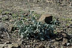 Heliotropium calcareum (Bob Reimer) Tags: fieldtrip oman enhg wilayatmahdah afrathe heliotropiumcalcareum
