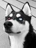Wolfy! (Trojan_Llama) Tags: dog eyes husky siberianhusky beautifuleyes wolfy yinandyang lovelyeyes oddeyes bieyed